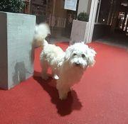 Kleiner weißer Hund Mischling