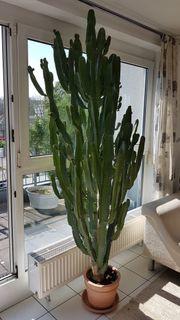 Prachtstück Kaktus