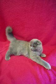 BKH BLH Kitten