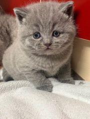 Bkh British Kurzhaar kitten eins