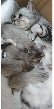 BKH Kitten Anfrage Stop Kitten