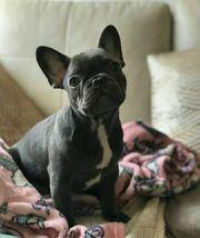 Französische Bulldoggen Welpen Süsse