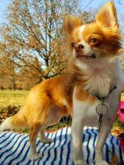 Bildschöner LH Chihuahua Deckrüde mit