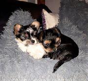2 wunderschöne Biewer Yorkshiere Terrier