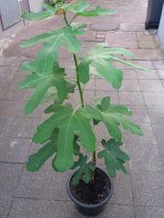 Feige Feigenbaum drei Jahre alt