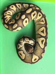 Python Regius 1 0 Pastel