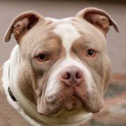 Santano 2 Jahre - Bulldog - Tierhilfe