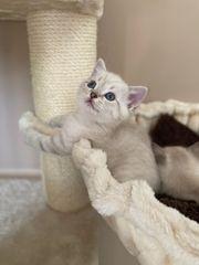 BKH reinrassige Kitten nur noch