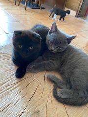 Bhk Scottish fold mix kitten
