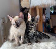Liebevoll aufgezogene Bengal kitten Silber