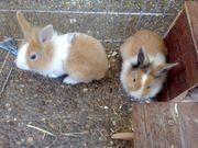 Zwei tolle Löwenkopf Kaninchen Babys