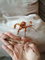 australische Gespenstschrecke extatosoma tiaratum Phasmiden