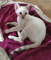 Bengal Kitten in snow weiblich