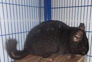 Chinchilla weiblich schwarz 4 Jahre