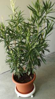 Rhododendron Kübelpflanze