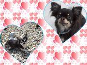 Chihuahua Wurfankündigung LH KH Welpe