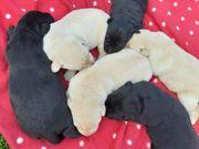 Süße reinrassige Labradorwelpen