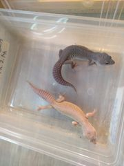 Leopardgeckos nz19