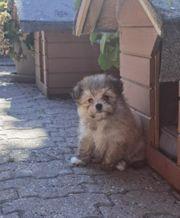 Pomeranian Malteser Mix