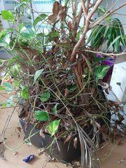 Pflanze inkl Kübel