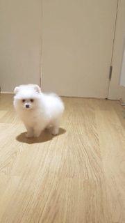 süße Pomeranian Zwergspitz