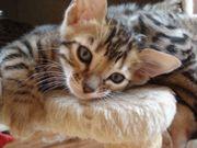 Wunderschöne reinrassige Bengal kitten-mit- stammbaum