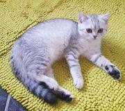 BKH Kitten noch eine Mädchen