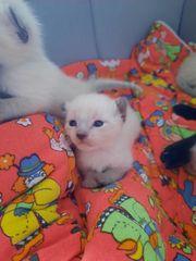 Siam Katzenbabys Siam Kitten