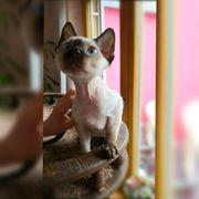 Devon Rex Kitten mit Stammbaum