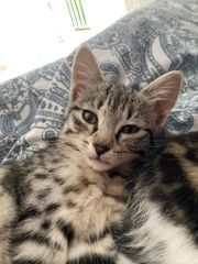 Stubentiger abzugeben - Katzenbaby