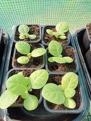 Verkaufe Tabakpflanzen