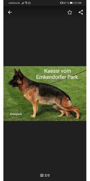 Deutsche Schäferhund Welpen