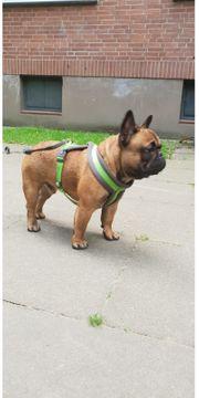 Reinrassige Französischen Bulldoggen