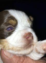 Biro Yorkshire Terrier Biewer und