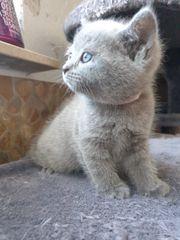 Süsses Russisch-Blau-BKH-Mix-Kitten