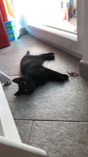 Babykatze schwarz