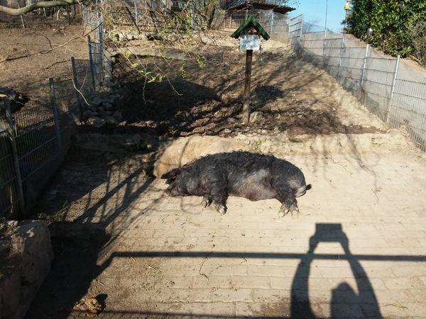 Wollschwein Eber schwarz