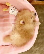 Pomeranian-Zwergspitzwelpen mit Papiere