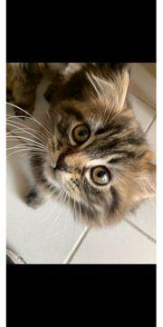 Miau Maine Coon Katzenmädchen Joy