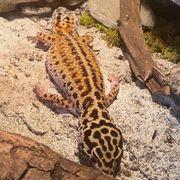 3 Leopardgeckos Leopardgecko Notfall