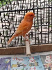 Kanarien Kanarienvögel Rot