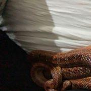 Kornnatter Schlange handzahm 1 30m