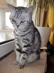 Reinrassige black silver tabby classic
