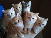 WunderschA ne British Kurzhaar Kitten
