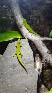 Phelsuma grandis Madagaskar Taggecko 0