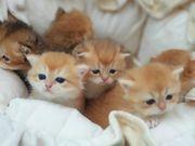 BKH BLH Kitten in golden