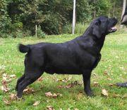 Labradordeckrüden schwarz und braun