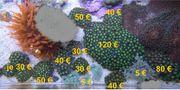Korallen Ableger Meerwasser