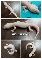 Leopardgecko 1 0 WY MSS