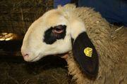 Schaf - Brillenschaf